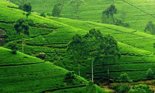 Die-weltweite-Verbreitung-des-Ceylon-Tee-Geschmacks